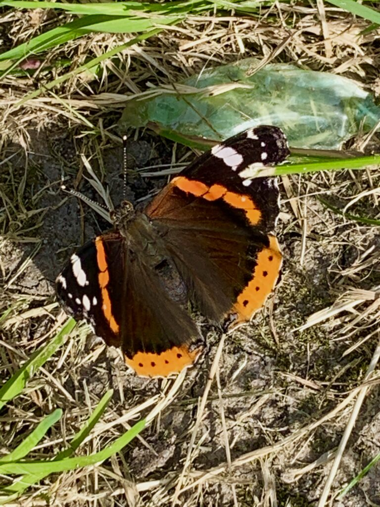 Zwart/oranje vlinder op het gras
